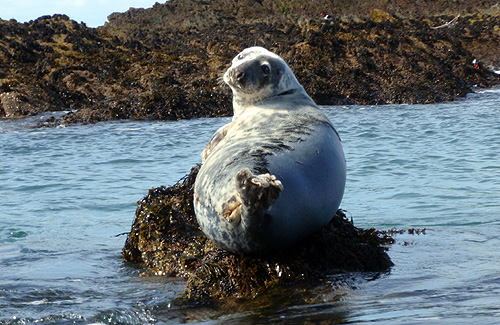 An unwary seal watches the action in the tidal races
